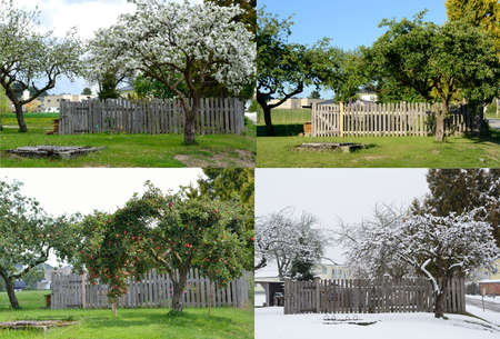 old apple tree in all four seasons from the same perspective