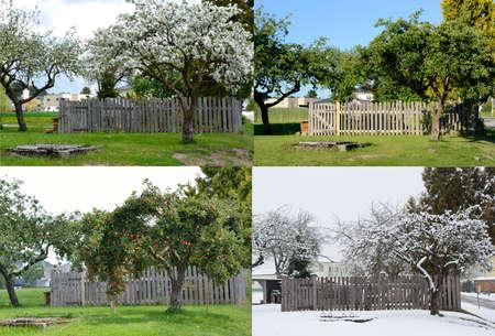 estaciones del año: viejo árbol de manzana en las cuatro estaciones de la misma perspectiva
