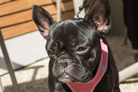 stocky: Black French Bulldog looks thoughtfully to himself