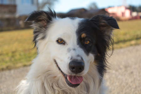 trustful: Border Collie with beautiful black and white drawing of the face