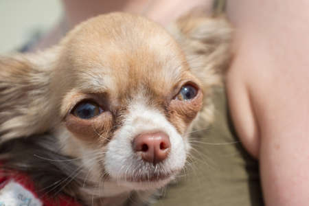 drudgery: Close-up of Mexican dog breed Chiwawa