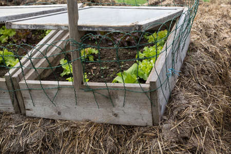 hotbed: Salad in a biological cold frame Stock Photo
