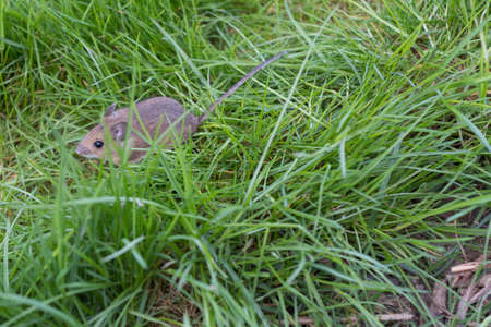 small field: small field mouse sitting in green grass Stock Photo