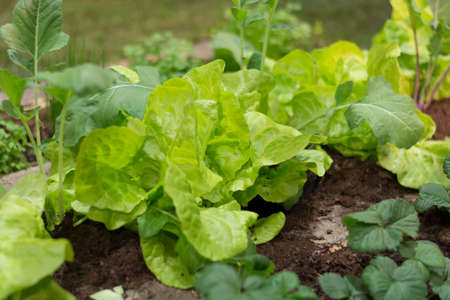 hotbed: Closeup of col frame with lettuce and kohlrabi plants