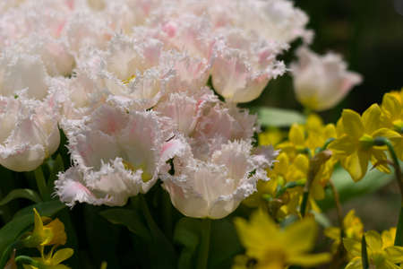anthesis: white fringed tulips and daffodils - Close-up