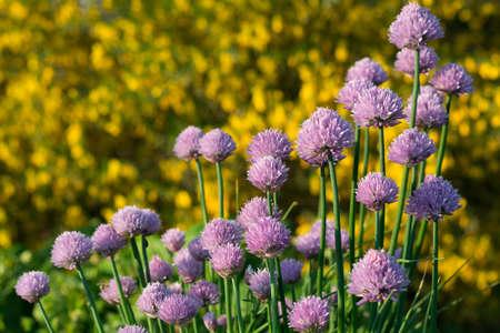 vigorously: vigorously flowering chives Stock Photo