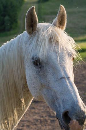 listens: White Arabian Horse listens attentively Stock Photo