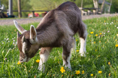 nanny goat: young domestic goat feels comfortable in the meadow