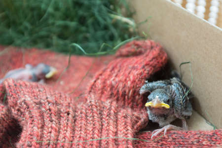 need help: newly hatched sparrow fallen from the nest need help Stock Photo