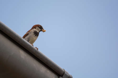 House Sparrow sitting with food in its beak on gutter