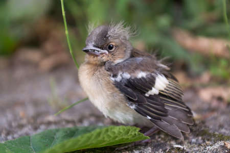 pubescent: small house sparrow is fledged