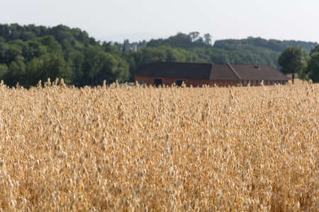 farmstead: Cornfield with oats - Large farm in the background Stock Photo