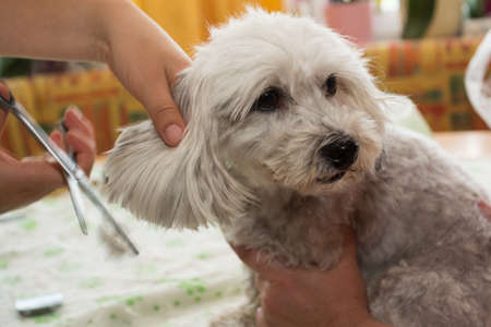 coiffeur: dog hairdresser at grooming a Havanese Banque d'images