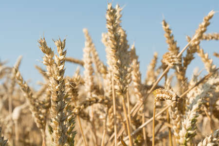 sustained: Cereal ears - Wheat - close-up