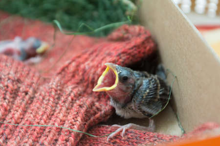 pubescent: young house sparrow cries out for food and will fledge