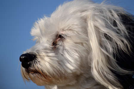 havanese: Closeup - Head of a Havanese, background is blue sky Stock Photo