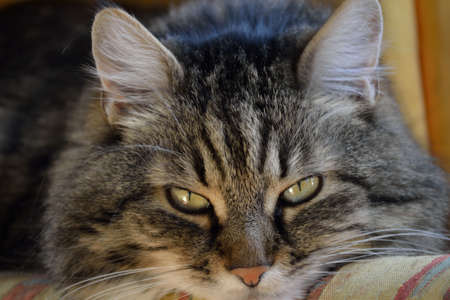 felis silvestris catus: tabby domestic cat looks relaxed into the camera - close-up Stock Photo