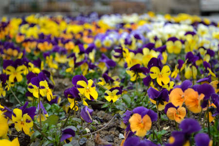anthesis: Flower with purple-yellow pansies Stock Photo