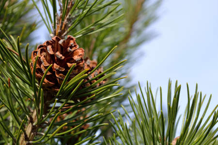 scots pine: Closeup showing pine cone on pine