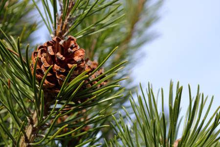 Pine cone: Gros c�ne de pin montrant sur le pin Banque d'images