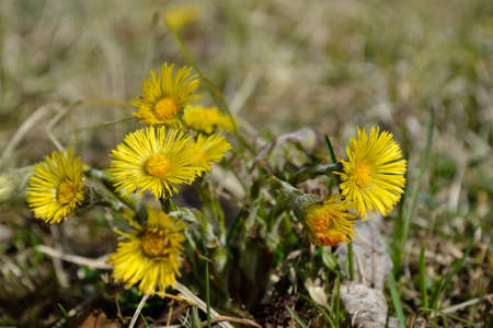 vigorously: vigorously blooming coltsfoot in the meadow