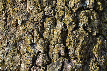 birchbark: cracked bark of an old birch