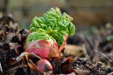 rheum: in the garden growing rhubarb Stock Photo