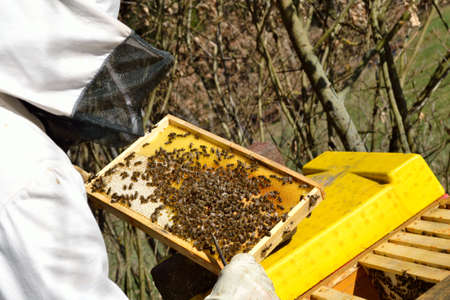 protective clothing: Beekeeper in protective clothing holding honeycomb with bees
