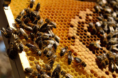 worker bees: Worker bees with their queen on honeycomb - close-up Foto de archivo
