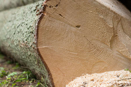 treetrunk: Growth rings in tree trunk felled on-sectional area Stock Photo