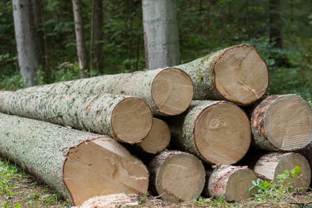 lumbering: Spruce - tree trunks like fresh