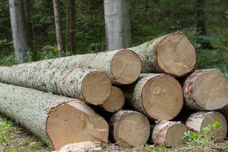 face in tree bark: Spruce - tree trunks like fresh