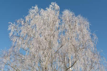 hoarfrost: Hoarfrost on birch trees, bright blue sky