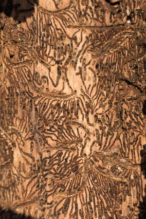 varmint: Bark on the inside shows transitions and patterns