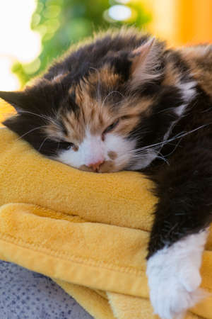 confiding: tricolor cat relaxed on soft blanket