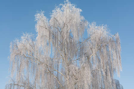 low temperature: Birch trees in hoarfrost