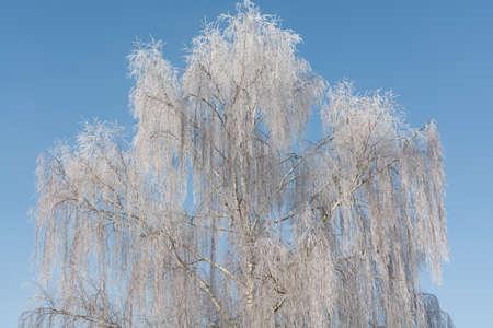 birch trees: Birch trees in hoarfrost