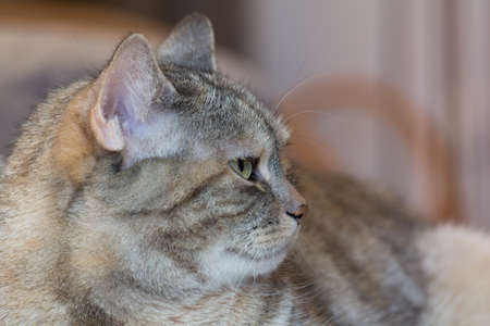 confiding: gray cat sitting disinterested, but wary of the camera