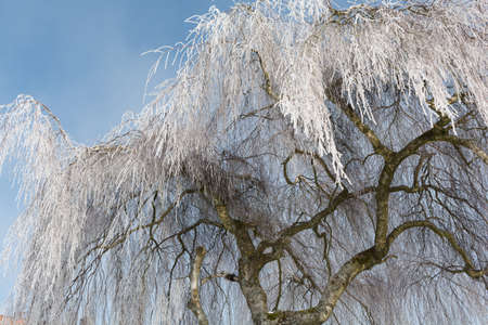 birch tree: old birch tree covered with hoarfrost