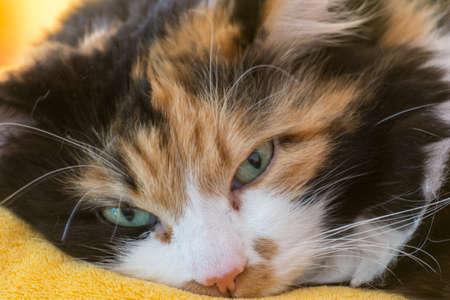 trichromatic: three colored cat - portrait
