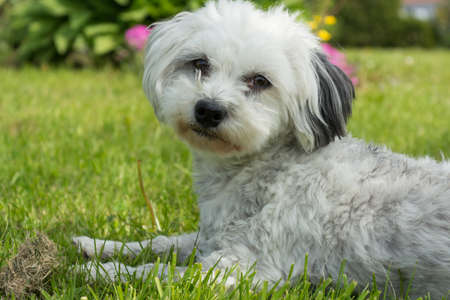 puppydog: Little White Dog - Havanese - located in the meadow and relaxing