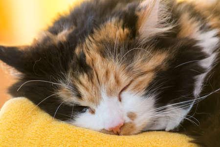 trichromatic: tricolor cat sleeping - Portrait
