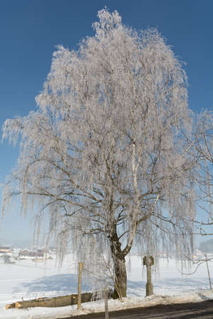 rime frost: idyllic winter landscape with snowy large birch in hoarfrost, next Wayside cross