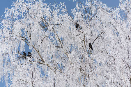 black ravens sitting in snow white birch - hoarfrost
