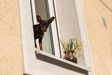window bench: Pinscher - small dog - standing on window sill and watched