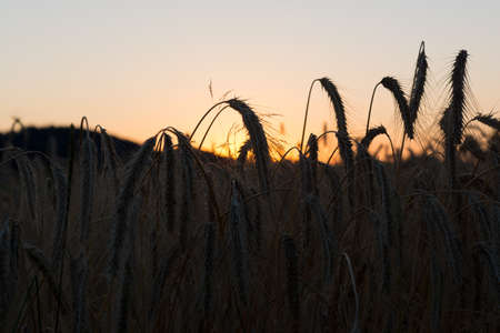 gloaming: romantic sunset behind a cornfield - silhouette of ears of corn