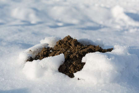 molehill: Mole is with shear pile in winter signs of life