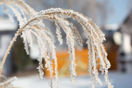 hoarfrost: Plant with hoarfrost on a sunny winter day