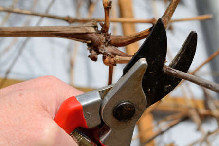 pruning shears: Person cuts vine with pruning shears