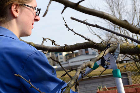 copse: young woman at winter pruning on an apple tree
